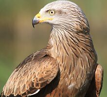 Red Kite (Milvus milvus) by DutchLumix
