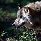 Wandering Wolf by Karol Livote
