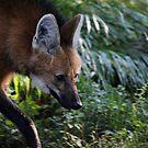 Maned Wolf by Karol Livote