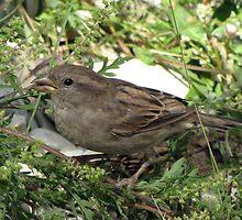 Sparrow by Mikhail Krupenin