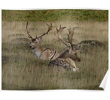 """Fallow Deer""  Bradgate Park, Newtown Linford, Leicestershire Poster"