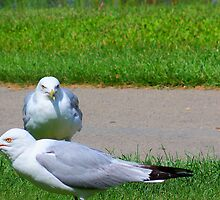 Seagulls in a Park by lilylens