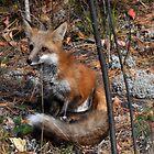 Foxxy Little Fellow by John Callan