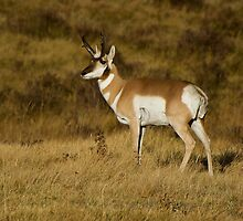 Pronghorn Antelope - Yellowstone National Park by Jeff Weymier