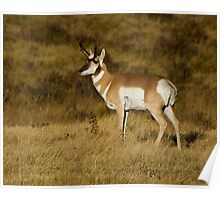 Pronghorn Antelope - Yellowstone National Park Poster