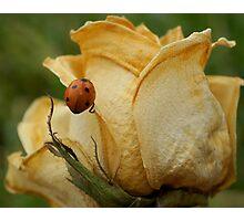 Ladybug Book Cover  Photographic Print