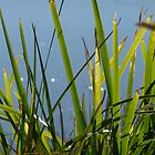 Reeds: Maribyrnong River by Sally Kate Yeoman