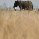 Aafrican Elephant (Loxodonta africana) in the savannah, South Africa, Kruger National Park by Sami Sarkis