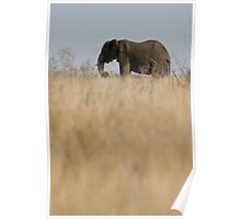 Aafrican Elephant (Loxodonta africana) in the savannah, South Africa, Kruger National Park Poster