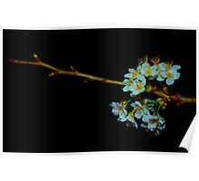 Night time blossom Poster