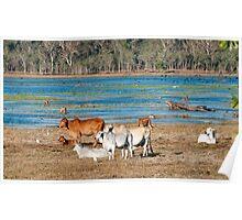 Mareeba wetlands moo cows Poster