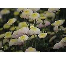 Cheery Crysanthemum's Photographic Print