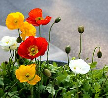 Poppies & Babies by Deborah Crew-Johnson