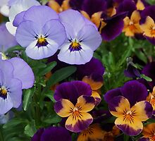 Violas in Autumn by Marjorie Wallace