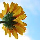 Yellow gebera by SunshineSong