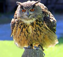 Eagle Owl Taking a Rest by vette
