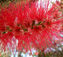 Callistemon by Irina777