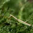 Praying Mantis by albino