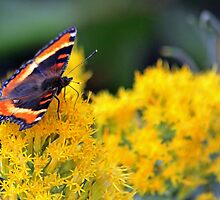 Red Admiral by MissMimi63