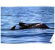 Pilot Whale ... Mama and Calf Poster