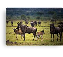 Wildebeest with Calves Canvas Print