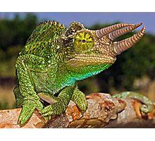 Jackson's Chameleon Photographic Print