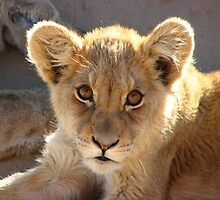 Lion cub by jmccabephoto