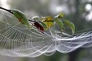 A Nice Website  The Spider Kind by Carolyn  Fletcher