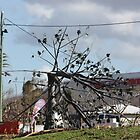 Flame Tree bent by winds from Cyclone Yasi - Cardwell Foreshore, North Queensland, Australia by myhobby
