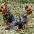 Twin Terriers by Bine