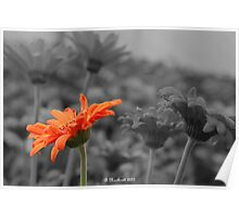 Different  - A Selective Colour Daisy Poster