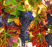 Grapes on vine in vineyards by Garry Gay