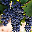 Sauvignon grapes by Garry Gay