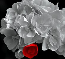A Touch Of Red - Selective Coloured Begonia by Betty Northcutt