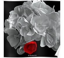 A Touch Of Red - Selective Coloured Begonia Poster