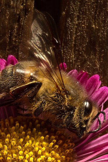 Studio Shot: European Bee by Colin  Ewington
