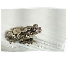 Gray tree frog V Poster
