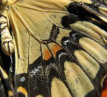 Anise Swallowtail by Dirk Belling