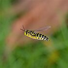 Hover Fly - In Flight by DebbyTownsend
