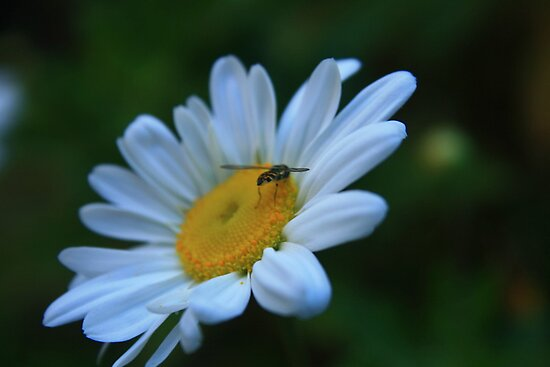 Bug on Daisy by RockyWalley