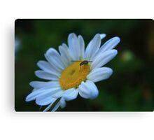 Bug on Daisy Canvas Print
