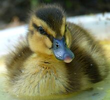 I Am Dinky Duck - Mallard Duckling - NZ by AndreaEL