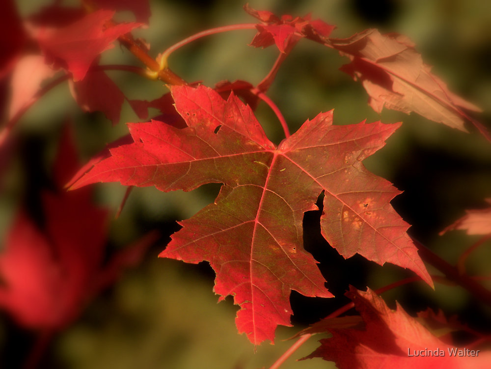Fall Red by Lucinda Walter