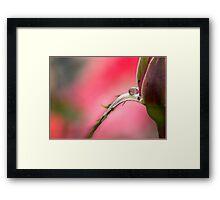 Rose Drop, Mission Beach, FNQ Framed Print