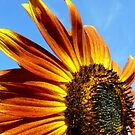 orange sunflower by tego53