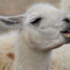 Llama by Betsy  Seeton
