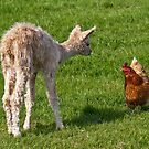 The Cria and the Hen by Krys Bailey