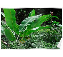 Banana tree leaves in tropical garden, close-up, Big Island, Hawaii Islands, United States Poster