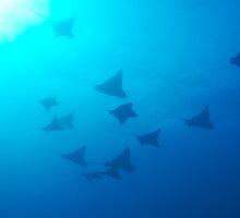 Large group of Spotted Eagle rays (Aetobatus narinari) swimming by Sami Sarkis