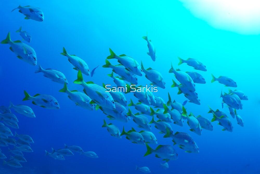 School of Burrito Grunt (Anisotremus interruptus), underwater view, Ecuador, Galapagos Archipelago, by Sami Sarkis